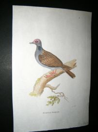 Shaw C1800's Antique Hand Col Bird Print. Turtle Pigeon